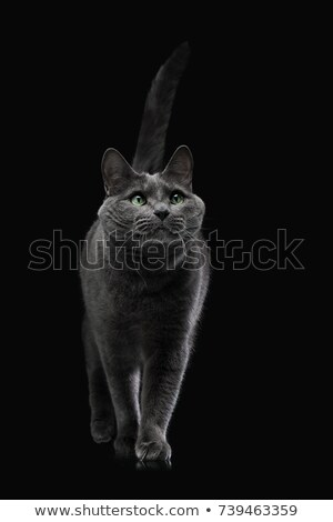 nice domestic cat in a dark studio Stock photo © vauvau