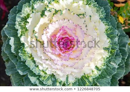 Closeup of cabbage flower Stock photo © AvHeertum