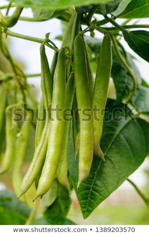 Growing Green Beans Stock photo © naffarts