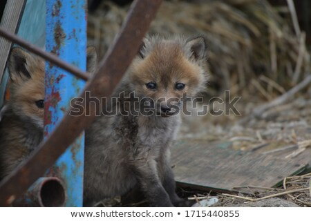 Red Fox pup outside its den Stock photo © pictureguy