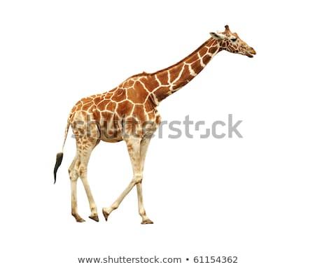 lado · perfil · girafa · parque · céu · África - foto stock © simoneeman