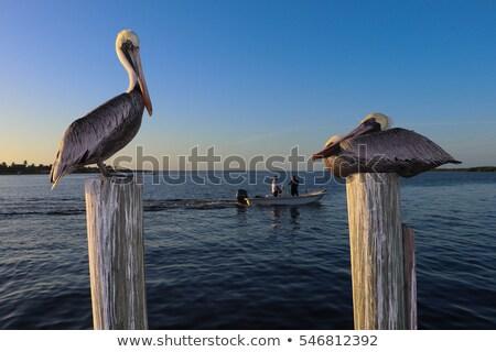 brown pelican close up stock photo © searagen