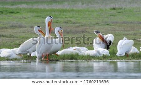 fehér · tavacska · tükröződés · cég · nyár · madár - stock fotó © shutter5
