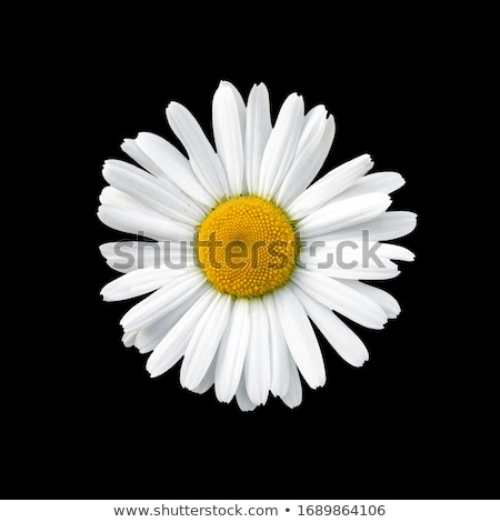 Colorful daisies. Stock photo © asturianu