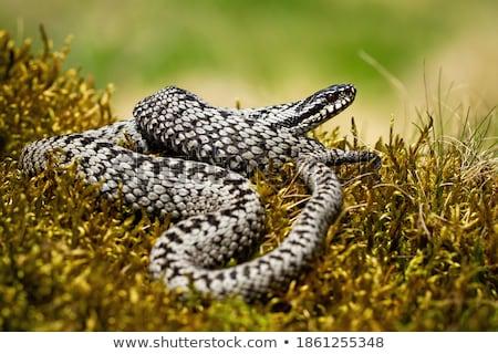 common viper on green moss Stock photo © taviphoto