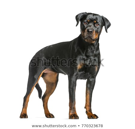 Rottweiler permanente omhoog witte leuk Stockfoto © cynoclub