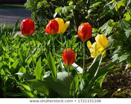 садоводства · яркий · ярко · весна · цветок · весны - Сток-фото © JanPietruszka