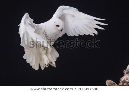 bagoly · repülés · fák · szemek · tél · sebesség - stock fotó © pictureguy