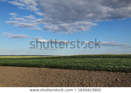 Green cultivated soybean field in late spring Stock photo © simazoran