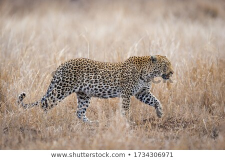 african leopard    Stock photo © lienkie