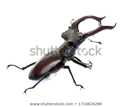 stag beetle Stock photo © FOKA