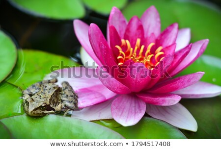 prince frog on waterlily Stock photo © adrenalina