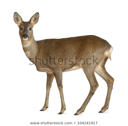 three roe deers Stock photo © taviphoto