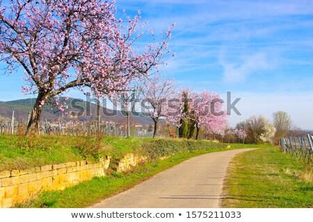 Stock fotó: Tájkép · körül · mandula · virág · tavasz · természet