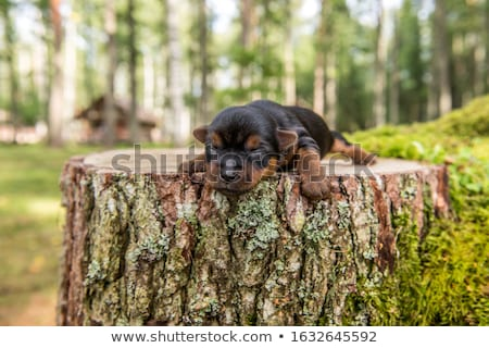 Portrait of a blind Yorkshire terrier Stock photo © vauvau