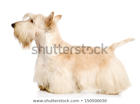 An adorable West Highland White Terrier and a Scottish terrier Stock photo © vauvau