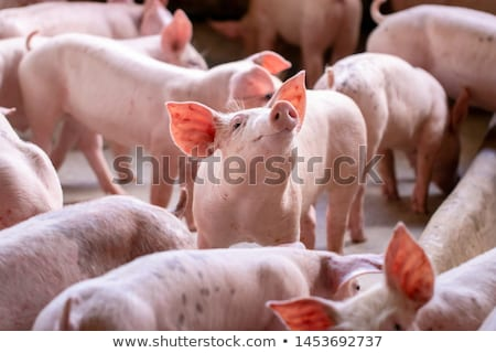 pig-slaughtering  stock photo © pavelmidi