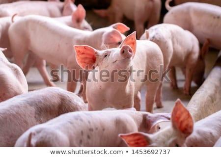 pig-slaughtering  Stock photo © pavelmidi