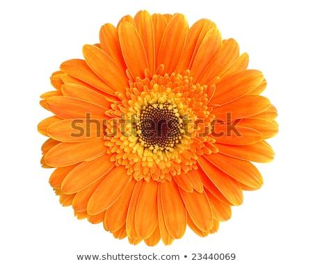 orange gerber stock photo © barbaliss