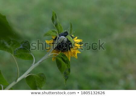 colorato · evergreen · arbusto · isolato · blu · cielo · blu - foto d'archivio © morrbyte