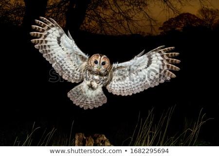 Bagoly portré szemek madár toll aranyos Stock fotó © scooperdigital