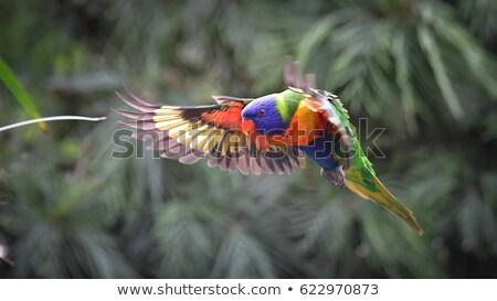 regenboog · tuin · vogel · Blauw · Rood · tropische - stockfoto © stevanovicigor