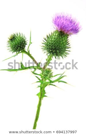 копье · цветок · природы · завода · Purple - Сток-фото © byjenjen