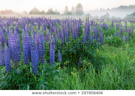 meadow of wild lupins stock photo © mahout