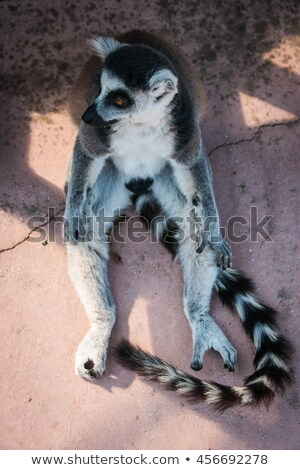 Ring tailed lemur from Madagascar. Question mark shape tail Stock photo © lunamarina