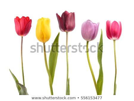 gift with pink tulips  isolated on white background Stock photo © natika