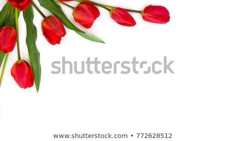 Spring holiday red tulip. Stock photo © beholdereye