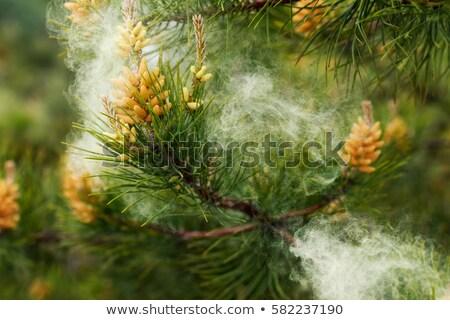 Virágpor fenyőfa zárt néz fej fenyőfa Stock fotó © rghenry