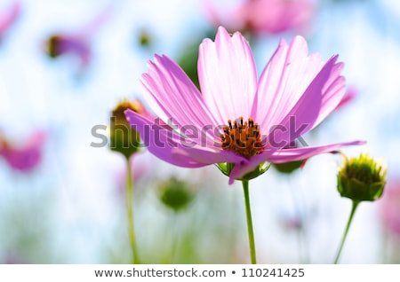 pink and white cosmos flowers close up stock photo © julietphotography