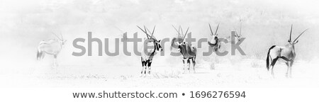 Herd of Oryx gazelle, Botswana Stock photo © romitasromala