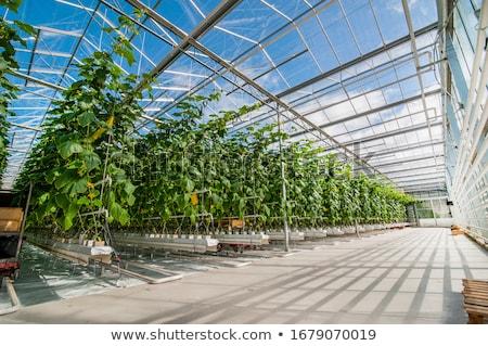 estufa · doce · morangos · comida · folha · verde - foto stock © trexec