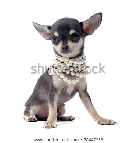 Stock photo: accessories dog  Black and White chihuahua