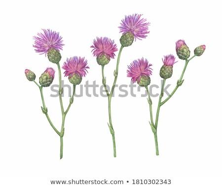 cut flowers prickly Thistle Stock photo © nikolaydonetsk
