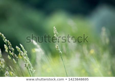 Grama verde macio foco belo flores da primavera natureza Foto stock © H2O