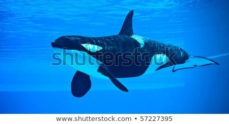 Vicces gyilkos bálna illusztráció óceán hal Stock fotó © adrenalina