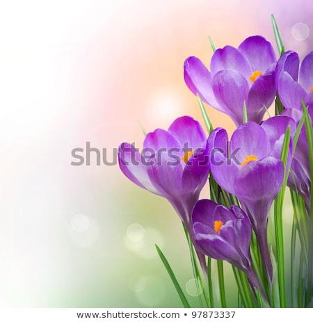 Сток-фото: весенний · цветок · Крокус · первый · весны · цветок · Лучи