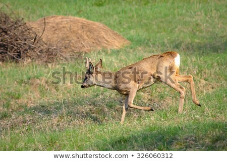 roe deer buck running in orchard Stock photo © taviphoto
