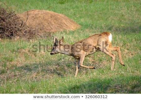 小さな · 男性 · 鹿 · 郊外の - ストックフォト © taviphoto