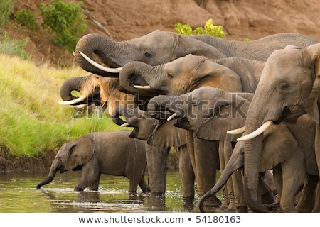african elephants drinking at waterhole stock photo © artush