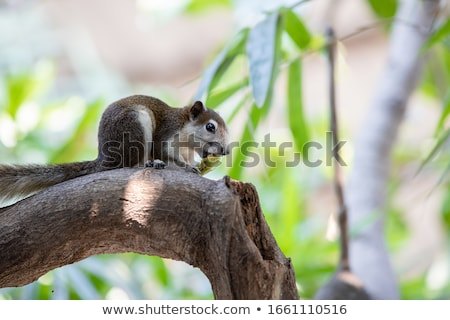 Stock photo: Variable squirrel