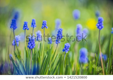 blue grape hyacinth Stock photo © jonnysek