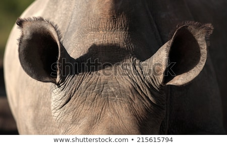 Close up of a Black rhino head in the Kruger. Stock photo © simoneeman