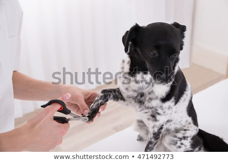 Vet Cutting Dog's Toenail Stock photo © AndreyPopov