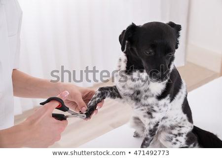 vet cutting dogs toenail stock photo © andreypopov