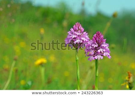 Orchidea mély rózsaszín dél nyugat Sussex Stock fotó © suerob