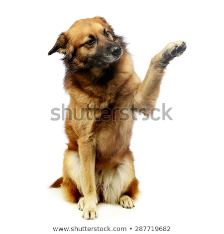 mixed breed dog in studio gives you five Stock photo © vauvau